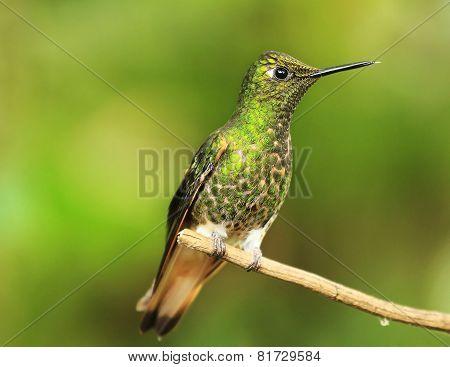 Colibri on a twig