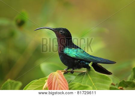 Purple-throated Carib hummingbird
