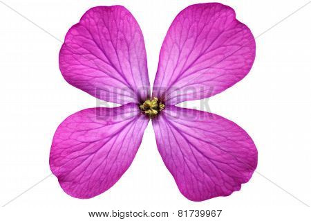 Single Violet Flower.closeup On White Background. Isolated .