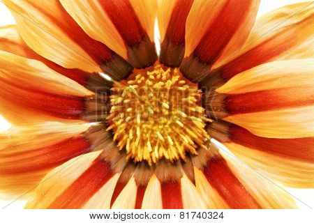 Single Flower Of Tiger Gazania. (splendens Genus Asteraceae).isolated