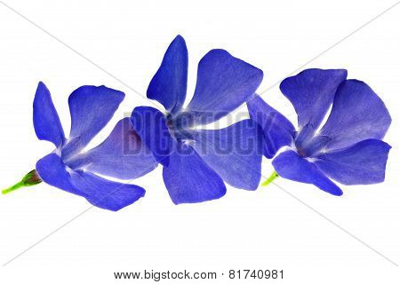 Three  Violet Flowers.closeup On White Background. Isolated .