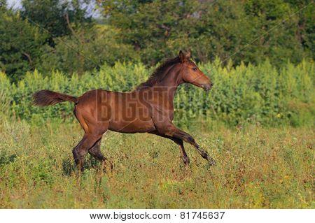 Beautiful foal running outdoors