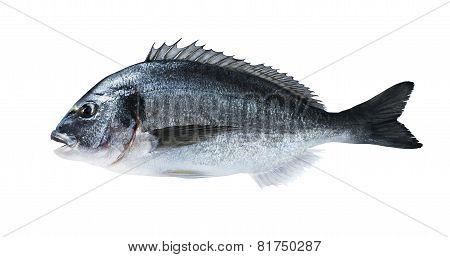 Fresh Fish Dorado Sea Bream Isolated On White Background