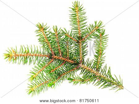 Fresh Green Fir Branches. Isolated