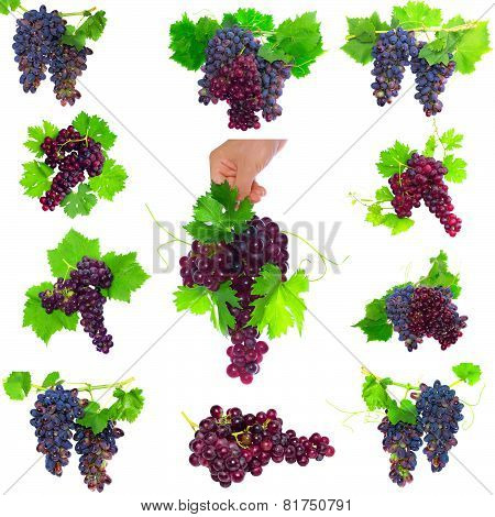 Collage Of  Grapes With Foliage. Isolated