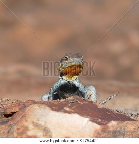 Yellow Throated Plated Lizard