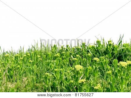 Green Grass, Isolated .