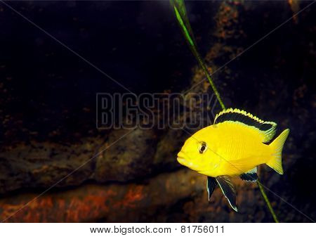 Aquarium Fish- Cichlid Hummingbird Yellow.