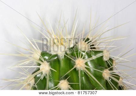 Echinocactus spikes
