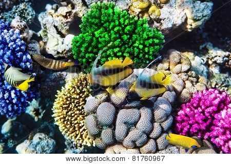 Red Sea Bannerfish  In The Red Sea. Egypt, Africa.