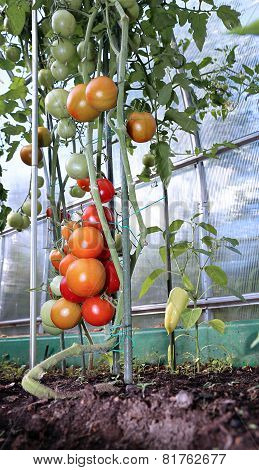 Red And Green Tomatoes Ripening On The Bush In A Greenhouse Of Transparent Polycarbonate