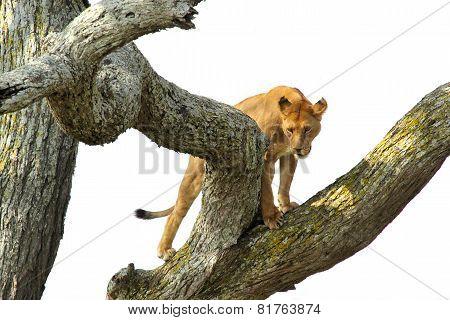 Lioness Climbing A Tree