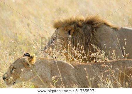 Couple Of Lion And Lioness Walking In The Grass