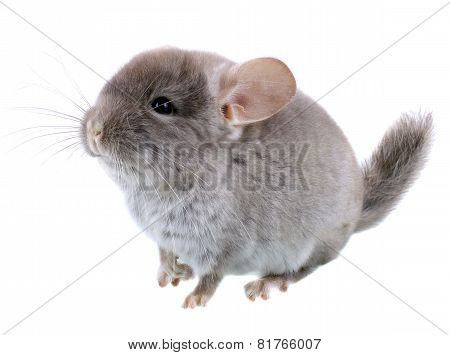 Gray Ebonite Chinchilla On White Background.