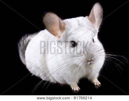 White Ebonite Chinchilla On Black