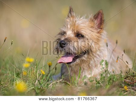 Light-brown Cairn Terrier Dog