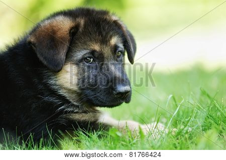 Face Of German Shepherd Puppy