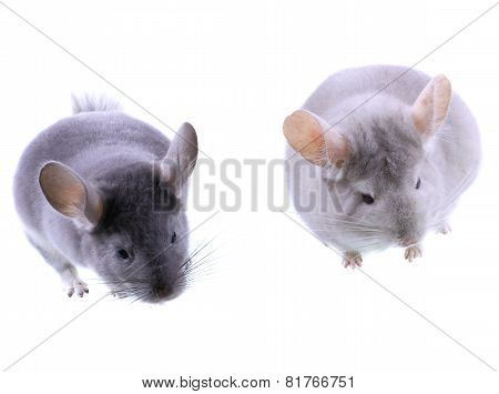 Couple Of Gray Ebonite Chinchilla On White.
