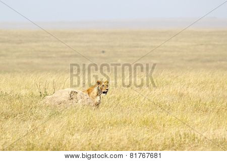 Lioness Looking Behind A Stone