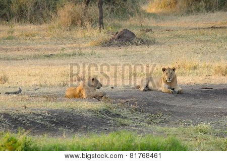 Pride Of Young Male Lions