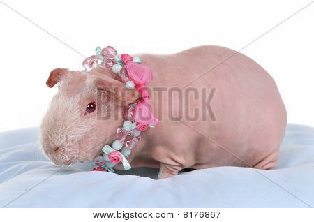 Bald Cavy In Necklace