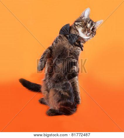 Tabby Kitten Teenager In Bow Tie Sitting On Orange
