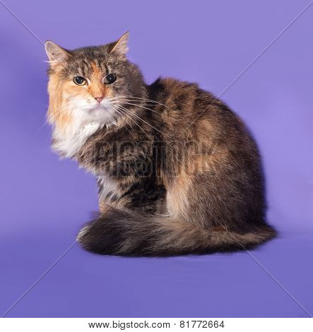 Tricolor Cat Sitting On Lilac