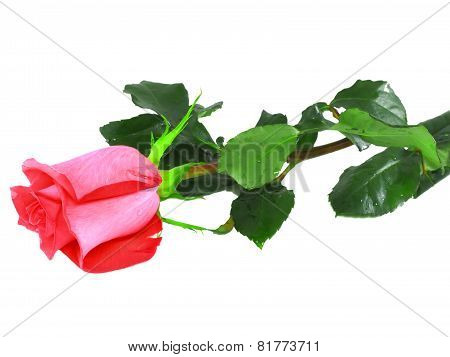 Beautiful Single  Pink Roses .  Isolated.