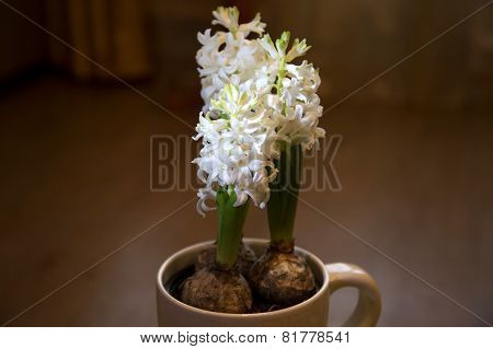 The White Blooming Hyacinth