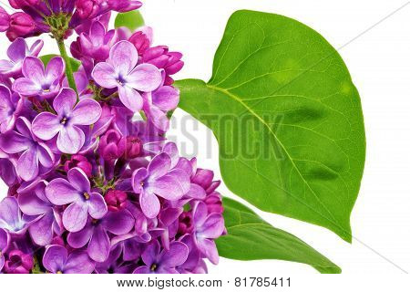 Beautiful   Lilac . Isolated Over White .