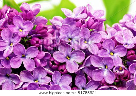 Beautiful Bunch Of Lilac Close-up