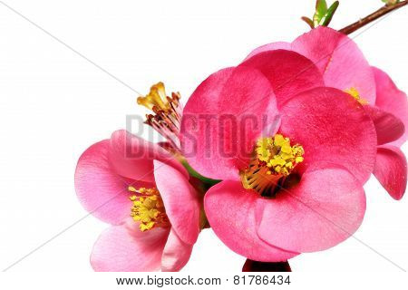 Flowers Of Chaenomeles Japonica (japanese Quince) Blossoming.  Isolated.