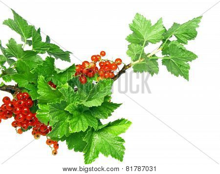 Red Currant On Branch With Foliage. Isolated