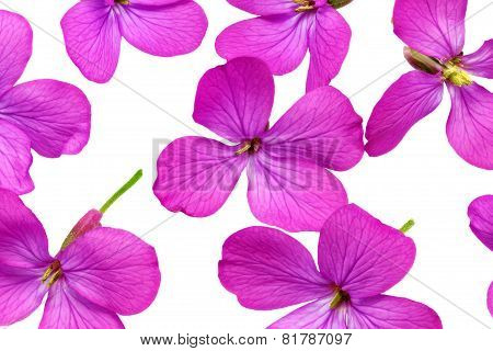 A Lot Of  Violet Flowers.closeup On White Background. Isolated .