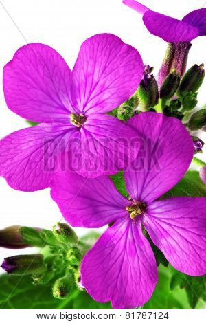 Beautiful Violet Flower.closeup On White Background. Isolated .