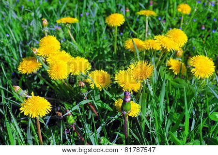 Beautiful Spring Flowers-dandelions In A Wild Field. Early Morning