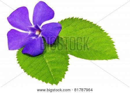 Violet Flower On Green Leaf .closeup On White Background.