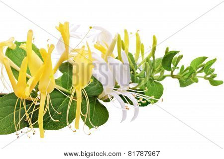 Flowering White-yellow Honeysuckle(woodbine).isolated