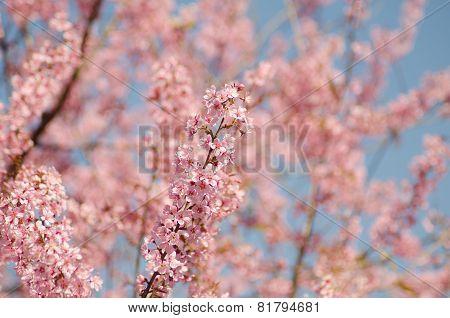 Wild Himalayan Cherry, Prunus Cerasoides