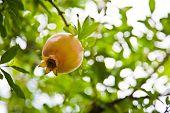 pic of pomegranate  - Pomegranates grow on a pomegranate tree - JPG