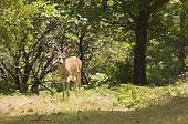 stock photo of black tail deer  - Male  - JPG