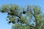 stock photo of mistletoe  - Mistletoe on a deciduous tree against a cloudless blue sky - JPG