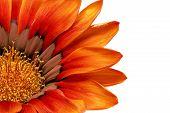 picture of single flower  - Single flower of Gazania - JPG