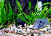 image of dwarf  - Aquarium Fish dwarf Cichlid in a water - JPG