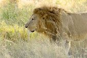 image of leo  - A male lion Panthera Leo walking in the grass of the savannah in Serengeti National Park Tanzania - JPG