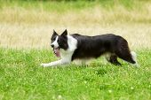 stock photo of collie  - Purebred border collie outdoors on a summer day - JPG