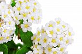 picture of meadowsweet  - Beautiful white flowering shrub Spirea aguta  - JPG