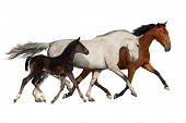 stock photo of wild horse running  - Horses run gallop and trot isolated on white background - JPG