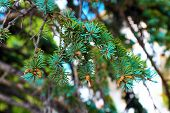 picture of cone  - Pine branch with cones - JPG