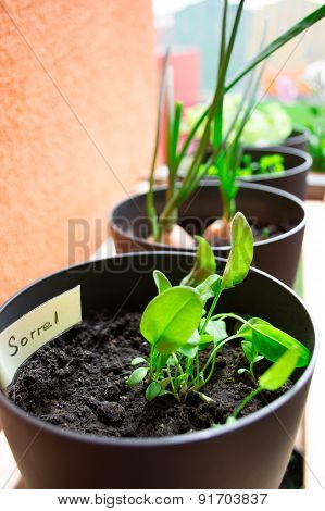 Plant pots with sorrel and herbs planting plant pots